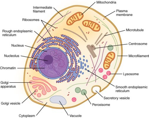 human-cell-structure-diagram-of-human-cells-anatomyofthefoot-720x571.jpg